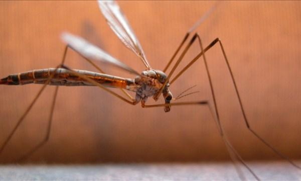 Mosquito_69169