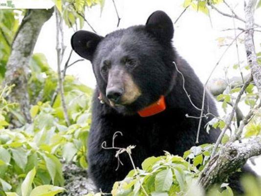 04112013-black-bear_178044