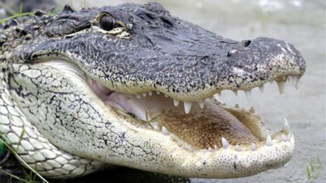 Alligator_1525813533006.jpg