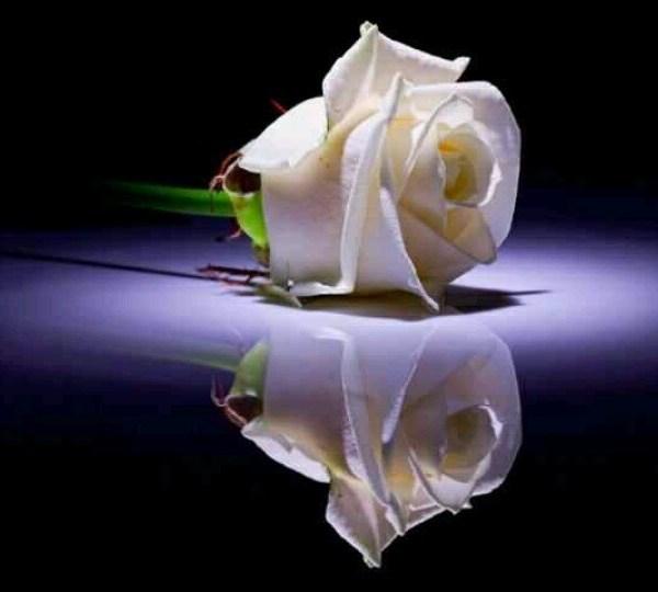 white rose_1525619900090.jpg.jpg