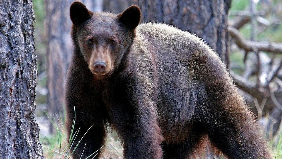 Black Bears_1519851109785.jpg.jpg