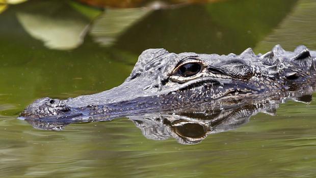 alligator_146506