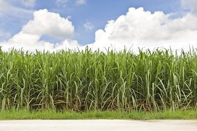LouisianasSugarCane-SugarCaneField-01bb0033_1530913082609.jpeg