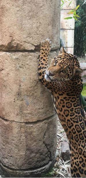 jaguar_1531598128379.JPG