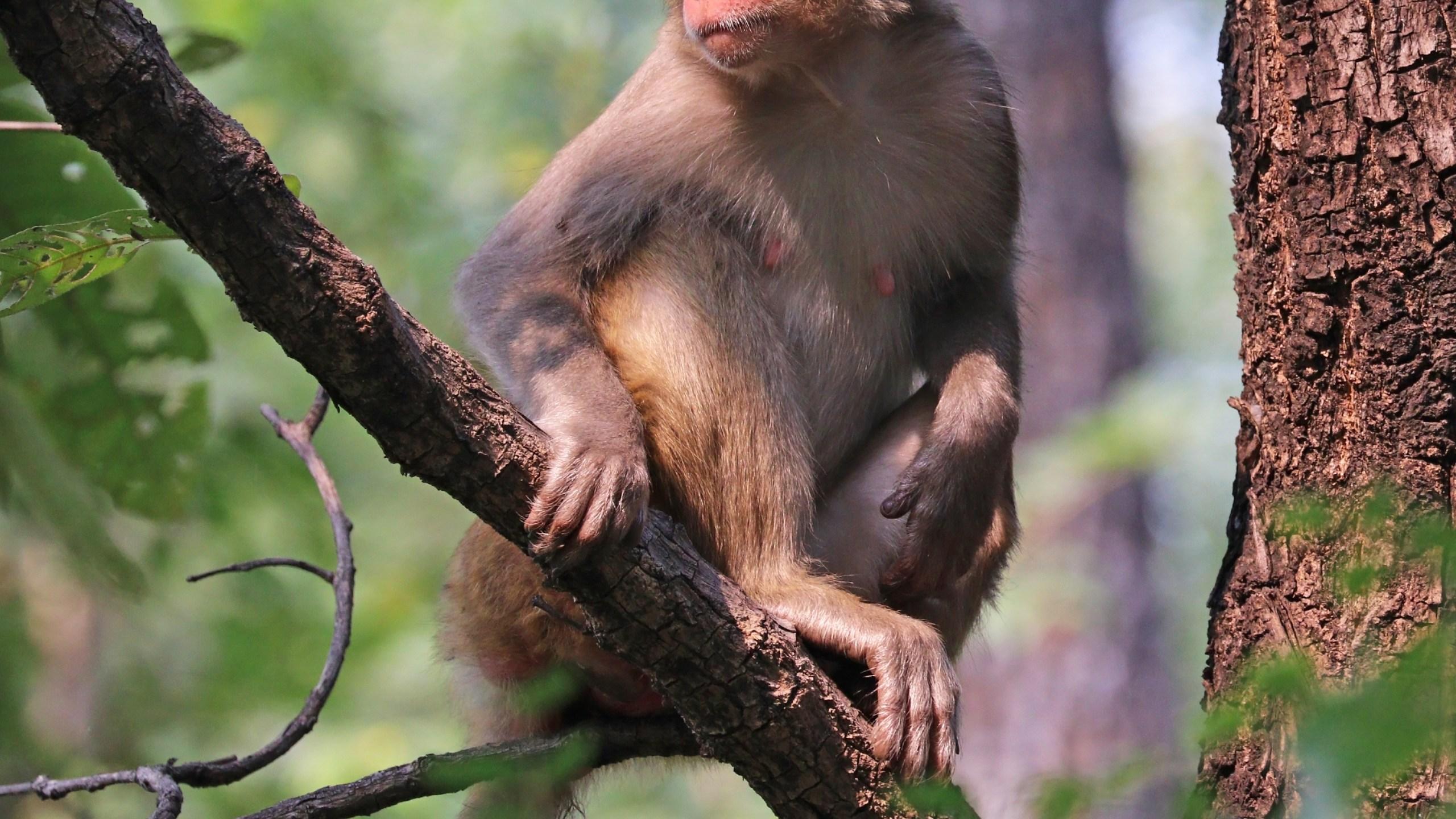 Rhesus_macaque_(Macaca_mulatta_mulatta)_female_1537129687094.jpg