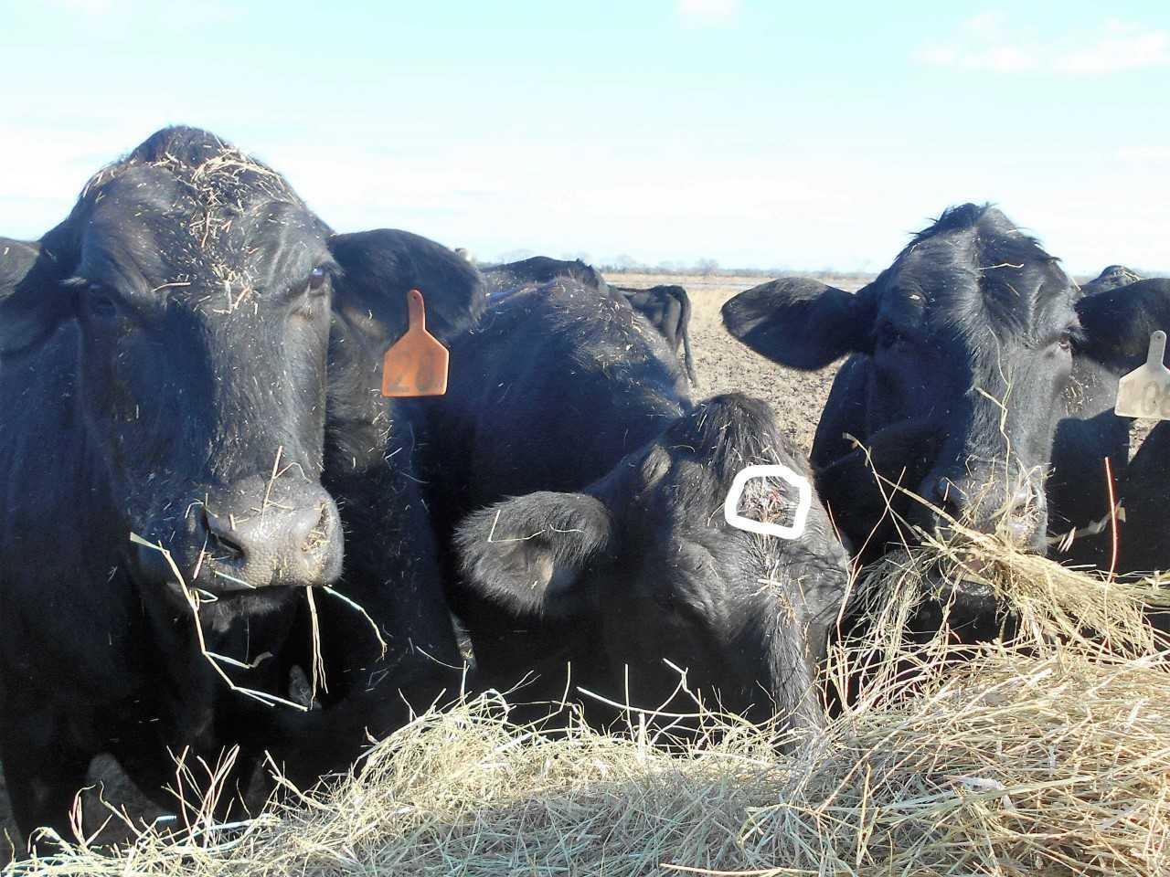 cattle_1547584573134.jfif.jpg