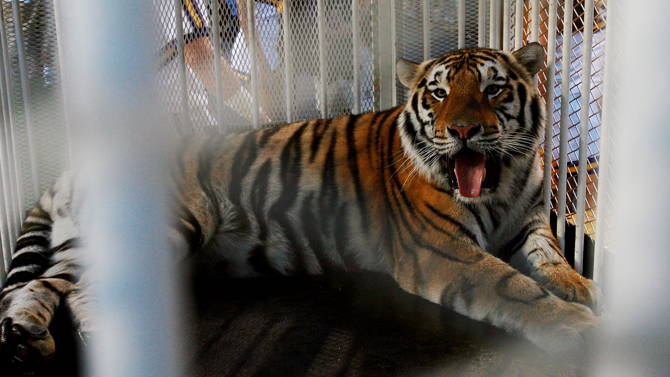 BATON ROUGE, LA - OCTOBER 06: LSU mascot Mike VI, a Bengal/Siberian mixed tiger, is displayed on the field before the Florida Gators take on the LSU Tigers at Tiger Stadium on October 6, 2007 in Baton Rouge, Louisiana. (Photo by Doug Benc/Getty Images)